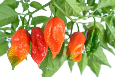 the hottest pepper from Chile: bhut jolokia