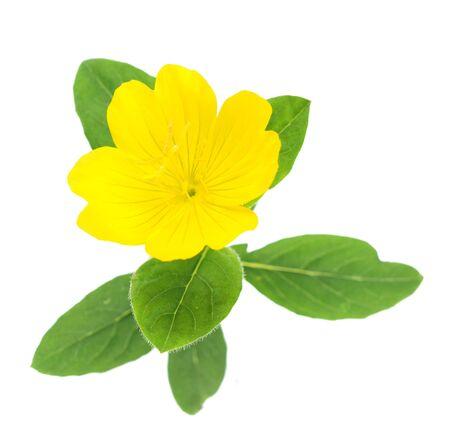 Top view of yellow primrose oenothera frutcosa flower isolated on white
