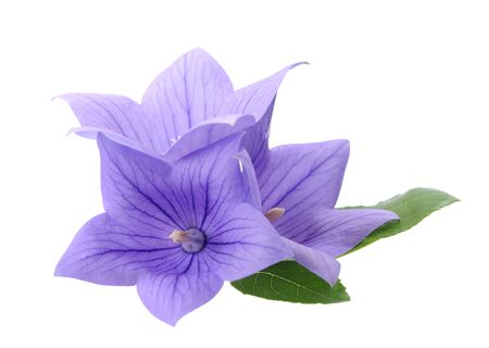Three Platycodon grandiflorus flowers isolated on white background