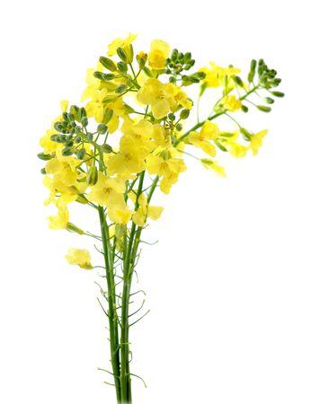 Brokkoli-Blumenzweig isoliert auf weißem Hintergrund
