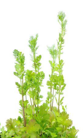 Coriander (cilantro) tree isolated on white