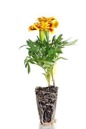 Orange pot marigold (Calendula officinalis) isolated on white  Zdjęcie Seryjne