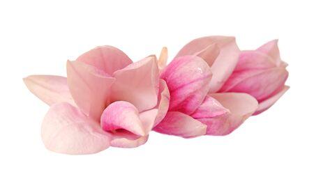 three magnolia flowers isolated on white