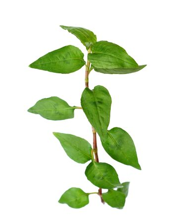 Vietnamese mint isolated on white