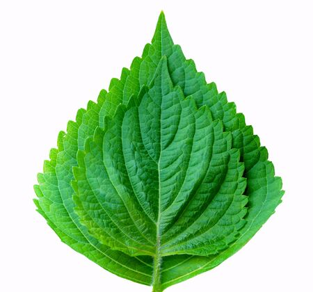 two perilla leaves  isolated on white