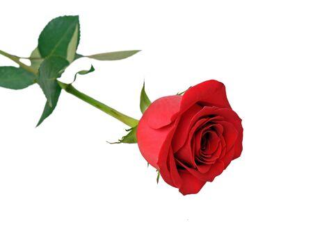 una singola rosa rossa isolata su sfondo bianco Archivio Fotografico