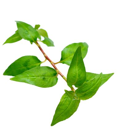 a branch of Vietnamese mint isolated on white Reklamní fotografie