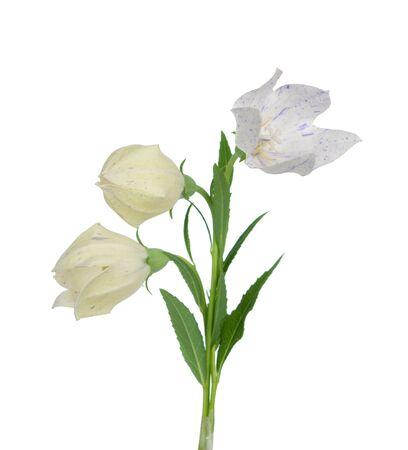 Platycodon grandiflorus flower isolated on white background