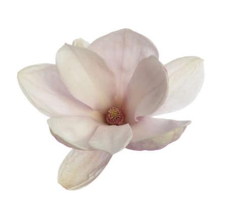 Pink magnolia bulb isolated on white Foto de archivo