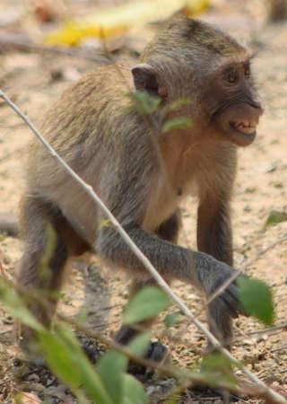 grimacing: Grimacing young macaque monkey (Thailand)