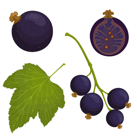 Vector black currant. A bunch of black currant, whole and half berries, leaf. Illustration