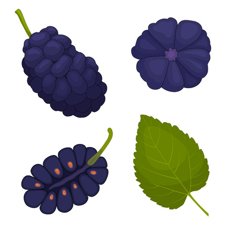 Mulberry vector. Berry mulberries in different angles. The whole, half and leaf. Detailed illustration. Çizim
