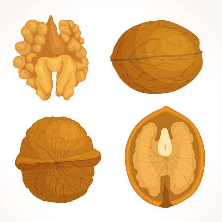 Vettore di noce. Metà, intero, guscio e nucleo di noce. Illustrazione dettagliata in stile cartone animato.