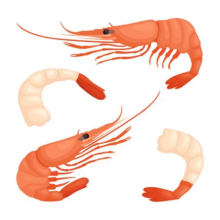 Shrimp closeup isolated on a white background. Vector illustration.  イラスト・ベクター素材
