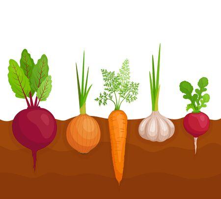 Ein Gemüsebett. Wie Wurzelfrüchte in der Erde wachsen. Vektor.