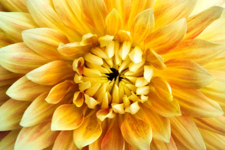 Dahlia flower closeup texture background photo