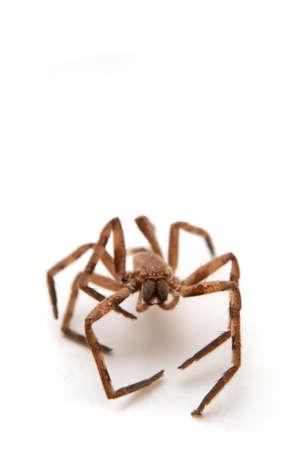 gambe aperte: grande ragno marrone con gambe aperte, seduto su un white paper