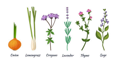 Culinary herbs set. Natural culinary herbs and spices for cooking, eating, food. Green eco-friendly clean fragrant herbs. Lemongrass, onion, lavender, oregano, thyme, sage vector