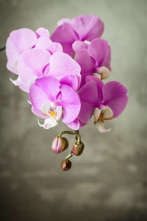 Purple orchid flower over grey concrete background Stock Photo