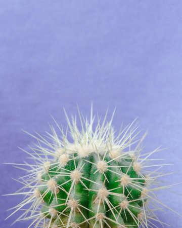 Cactus close up on the blue background. Macro shot, trendy pastel colors. Minimal creative still life