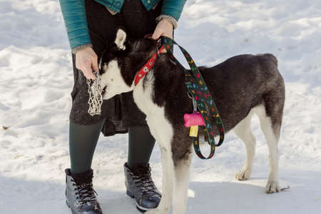 Woman trying to wear a metal pinch collar on her husky pet dog