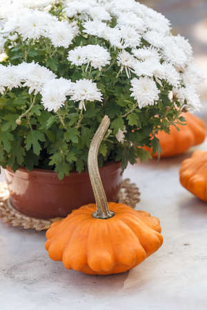 Fall season or Halloween table decoration on the table in the backyard or terrace. Small pumpkins and Chrysanthemums in the pot in autumn garden