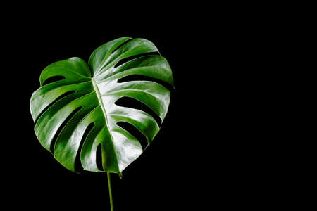 Large green leave of Philodendron (Monstera deliciosa) isolated on black background