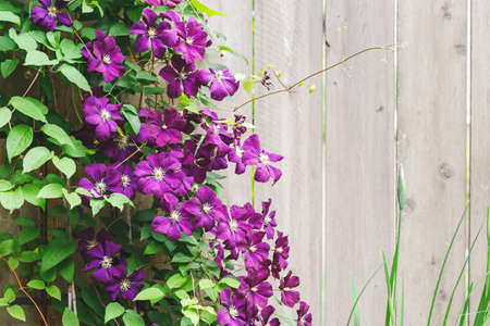 Violet Clematis Flowers in the Garden with copy space, wooden fence background