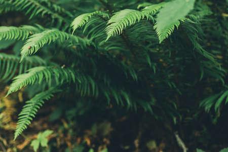 Green fern leaf in the forest, bracken plant natural background