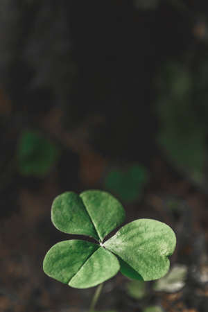Vertical background with three-leaved shamrocks growing in the summer forest. St. Patricks Day concept. Shallow depth of field, focus on near leaf