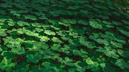 Natural background with three-leaved shamrocks growing in the summer forest. St. Patricks Day concept. Shallow depth of field, focus on near leaf