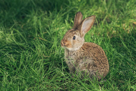 A grey rabbit sitting in the grass. Easter card. Copy space fro text Banco de Imagens