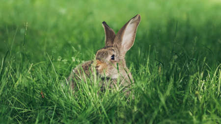 A grey rabbit sitting in the grass. Easter card, copy space for text
