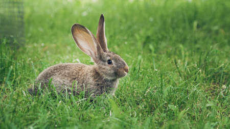 A grey rabbit sitting in the grass. Easter greeting card. Copy space for text, wide format