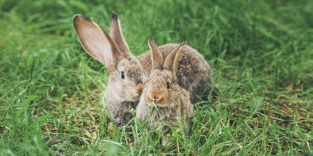 Two grey rabbits sitting in the grass. Wide format. Easter banner Banco de Imagens