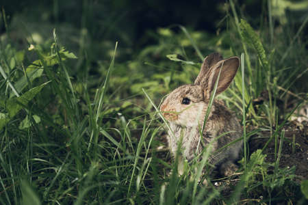 Cute scared little hare or rabbit hiding in the grass. Copy space for text. Easter holiday background