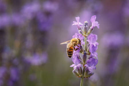 Bee pollinate a lavender flower closeup in the Summer purple lavender field. Blooming flower background with copy space