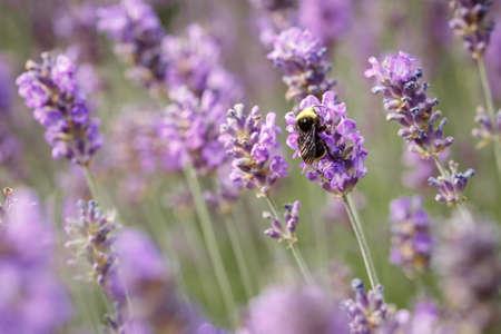 Lavender flower closeup in the Summer purple lavender field. Blooming flower background Banco de Imagens