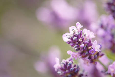 Lavender flower closeup in the Summer purple lavender field. Blooming flower background with copy space Banco de Imagens