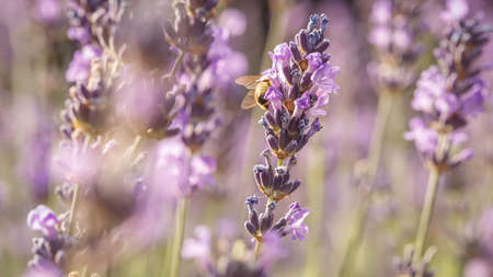 Bee pollinate a lavender flower closeup in the Summer purple lavender field. Blooming flower background Banco de Imagens