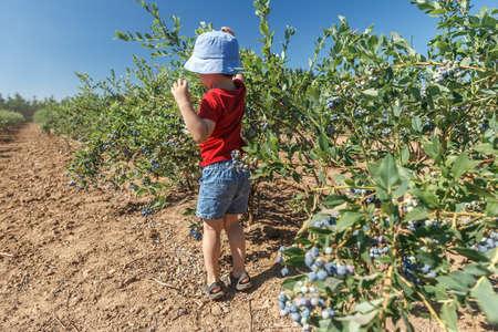 Little boy picking fresh blueberries on a farm