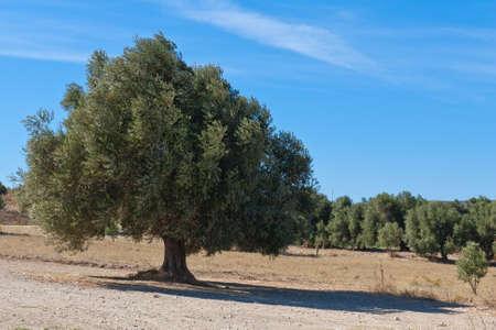 mediterranian olive tree Stock Photo