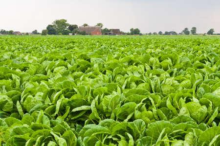 cabbage: Agrarische achtergrond met groene kool, Stockfoto