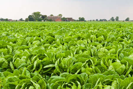 Farming background with green cabbage field