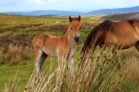 exmoor: Exmoor Pony colt Stock Photo