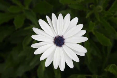 White flower of Cape Daisy (Scientific name: Dimorphotheca pluvialis), also known as weather prophet, African daisy and Cape marigold. It has about twenty one petals. Stock Photo