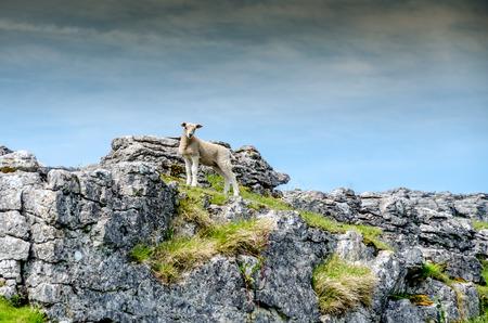 Posing Heroic Sheep Stok Fotoğraf