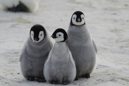 Tre Pinguino imperatore pulcini Insieme Archivio Fotografico - 44230575