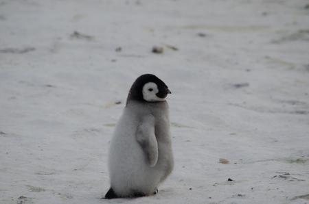 Lone emperor penguin chick