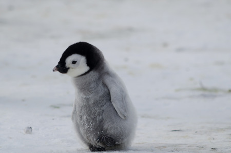 Lone Penguin Chick 스톡 콘텐츠